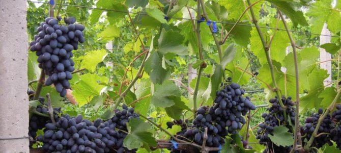 Виноград Кодрянка, описание сорта