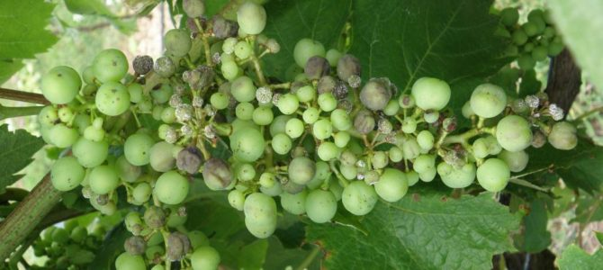 Болезнь винограда милдью