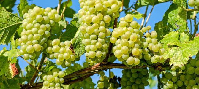 Правильная посадка винограда — выбор сорта и места посадки лозы