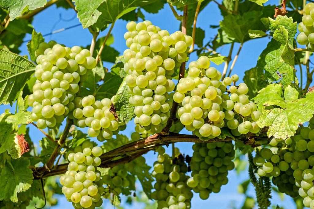 Правильная посадка винограда
