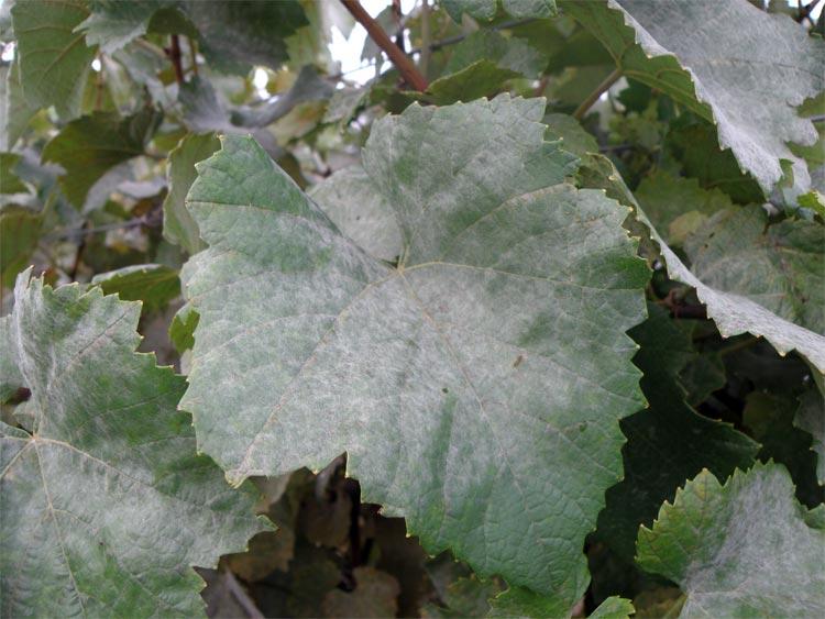 Болезнь винограда оидиум