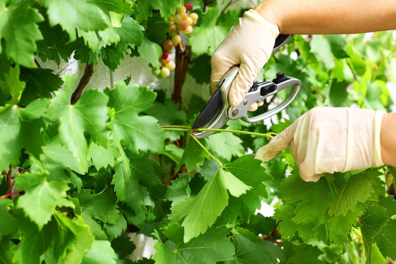 Обрезка винограда летом