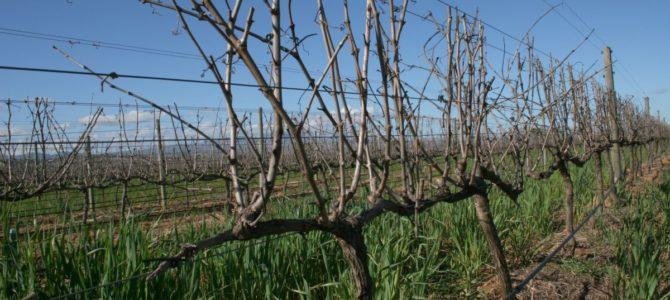 Формирование куста винограда — основные виды формирования