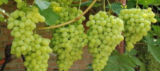 Виноград Лора — описание, достоинства и недостатки сорта