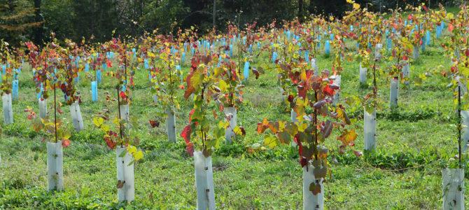 Сорта винограда для средней полосы России