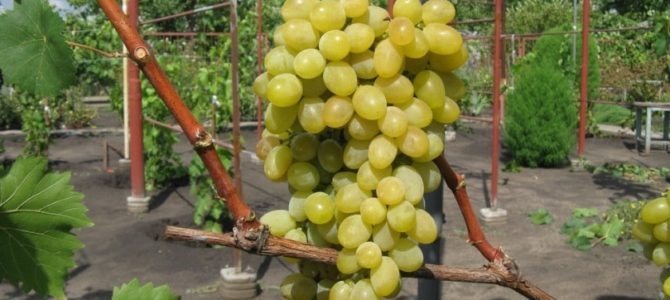 Виноград Августин — описание сорта, достоинства и недостатки