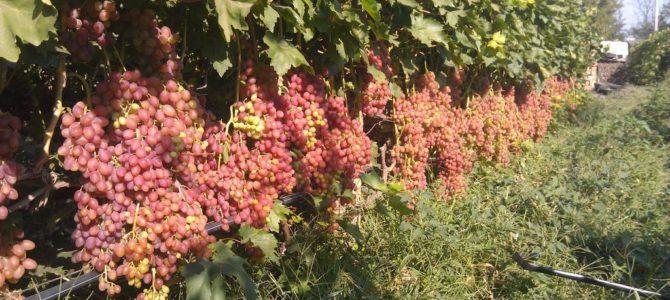 Сорт винограда Кишмиш лучистый