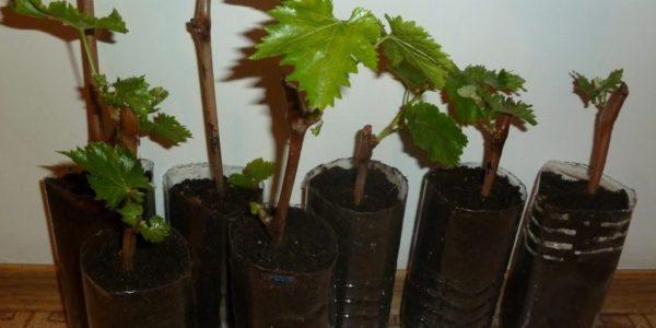Способы размножения винограда в домашних условиях