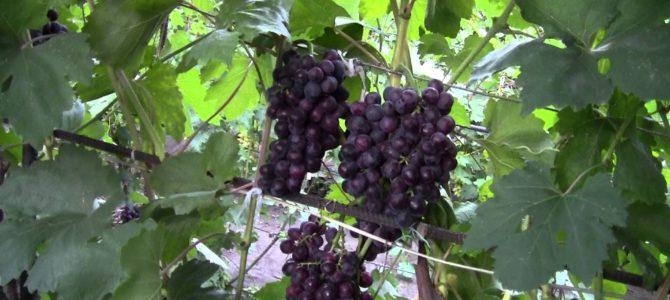 Сорт винограда Рошфор — описание сорта, плюсы и минусы