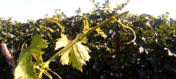 Чеканка винограда — зелёные операции на винограде