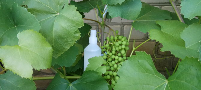 Чем лечить виноград — безопасный фунгицид