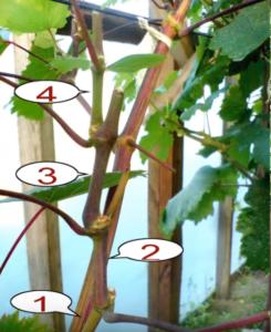 как пасынковать виноград