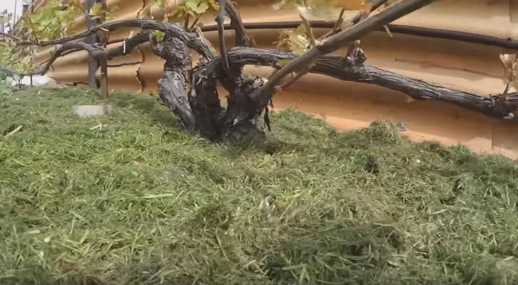 Положительные свойства мульчирования почвы на винограднике