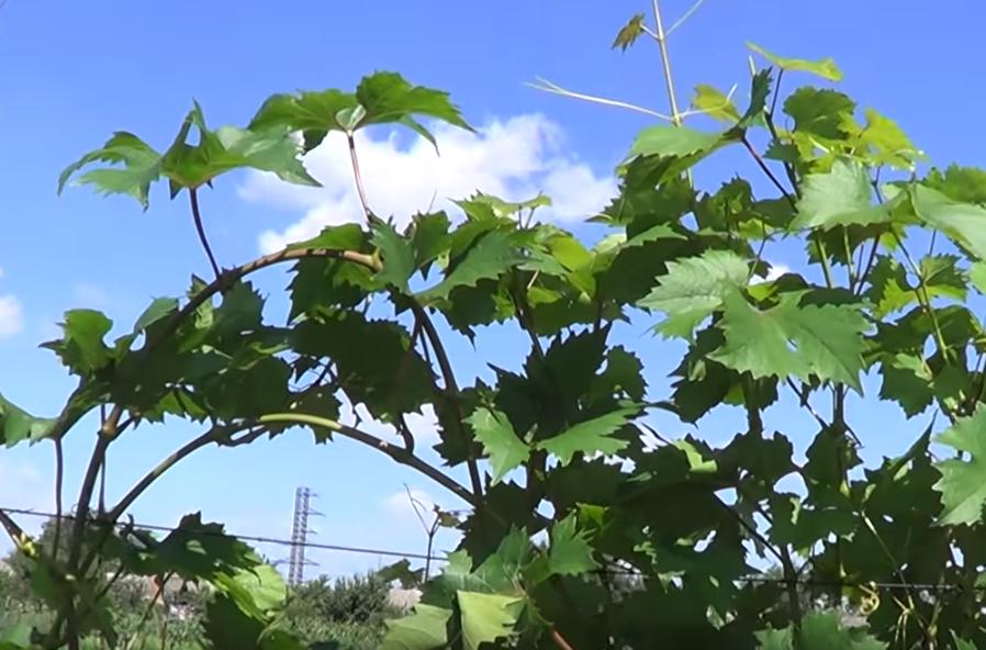 Операции на винограде в июле