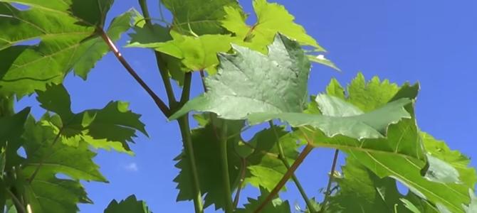 Операции на винограде в июле — уход за виноградом