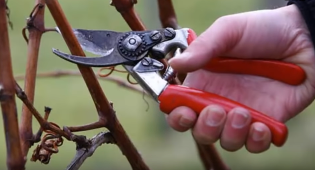 Когда обрезать виноград — какую лозу выбрать при обрезке
