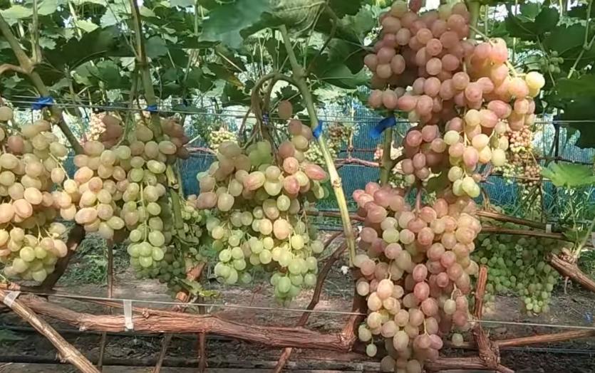Нагрузка винограда урожаем