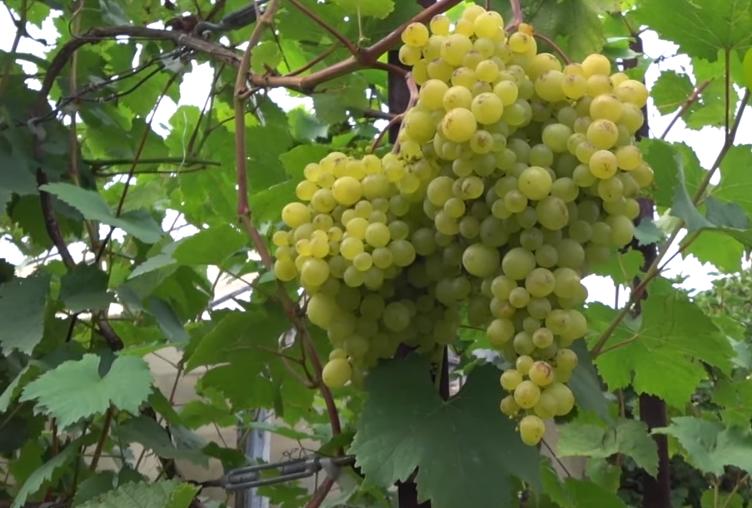 И в Сибири зреет виноград