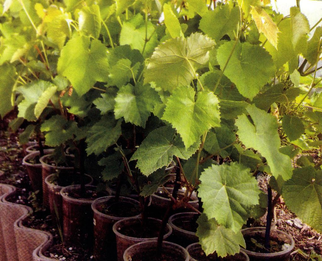 Сорта винограда для Удмуртии